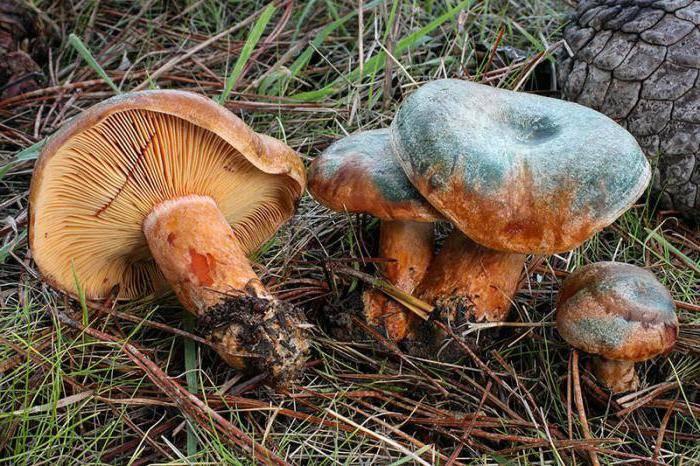 Как выглядят грибы рыжики и где растут, когда собирать
