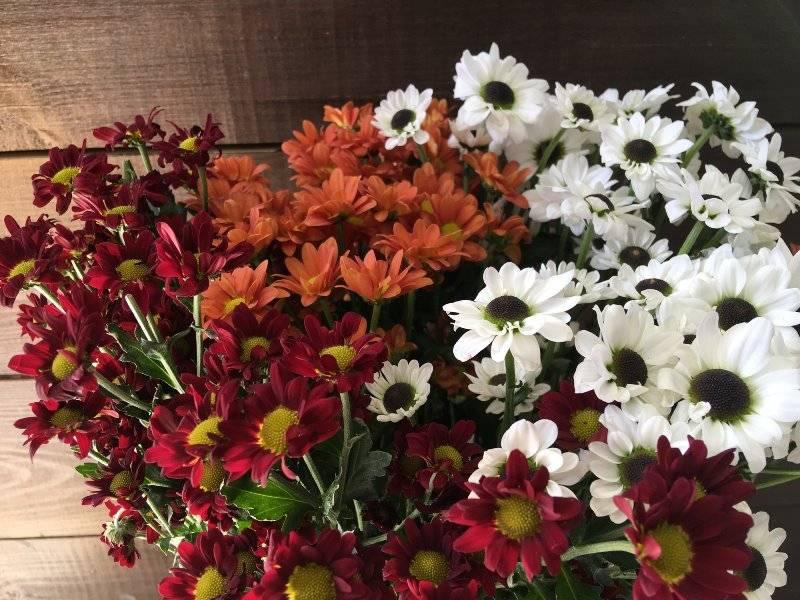 Описание цветка Хризантема Сантини – фото культуры