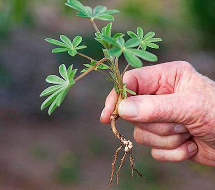 Как выращивать люпины из семян? в домашних условиях. фото — ботаничка.ru