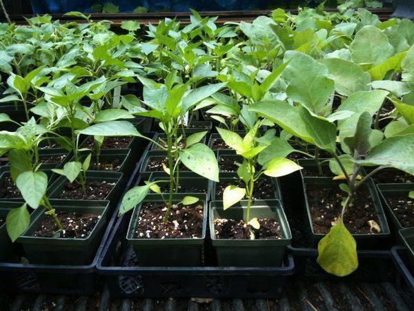 Почему перец не растет после высадки в грунт: 6 распространенных причин: новости, перец, огород, урожай, лайфхаки, сад и огород