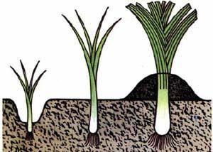 Выращивание лука-порей в сибири