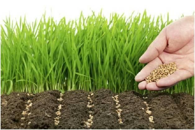 Как применять горчицу в огороде от сорняков и вредителей, посадка как удобрения
