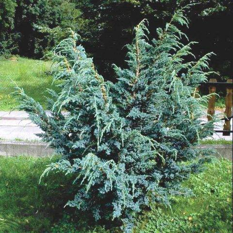 Можжевельник обыкновенный: посадка и уход в открытом грунте, фото, размножение сорта, выращивание и сочетание в ландшафтном дизайне