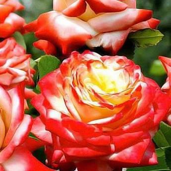 Описание розы чайно-гибридного сорта «императрица фарах»
