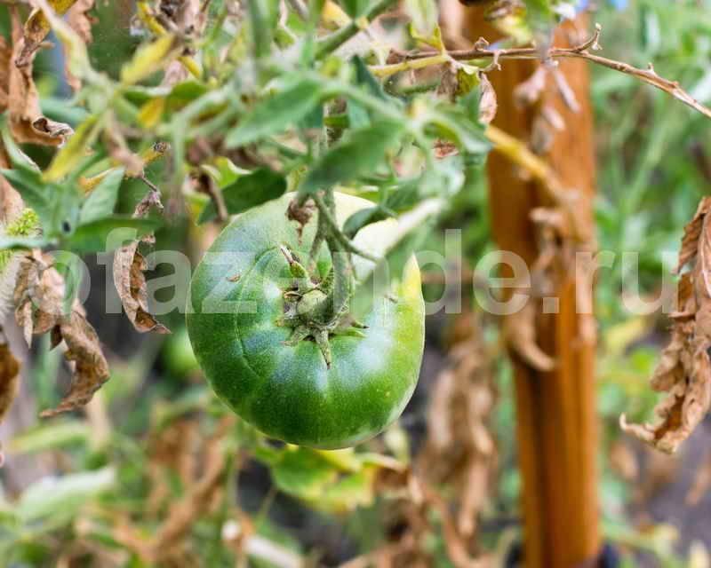 Горчица, йод, перекись и марганцовка: все основные народные средства для обработки растений