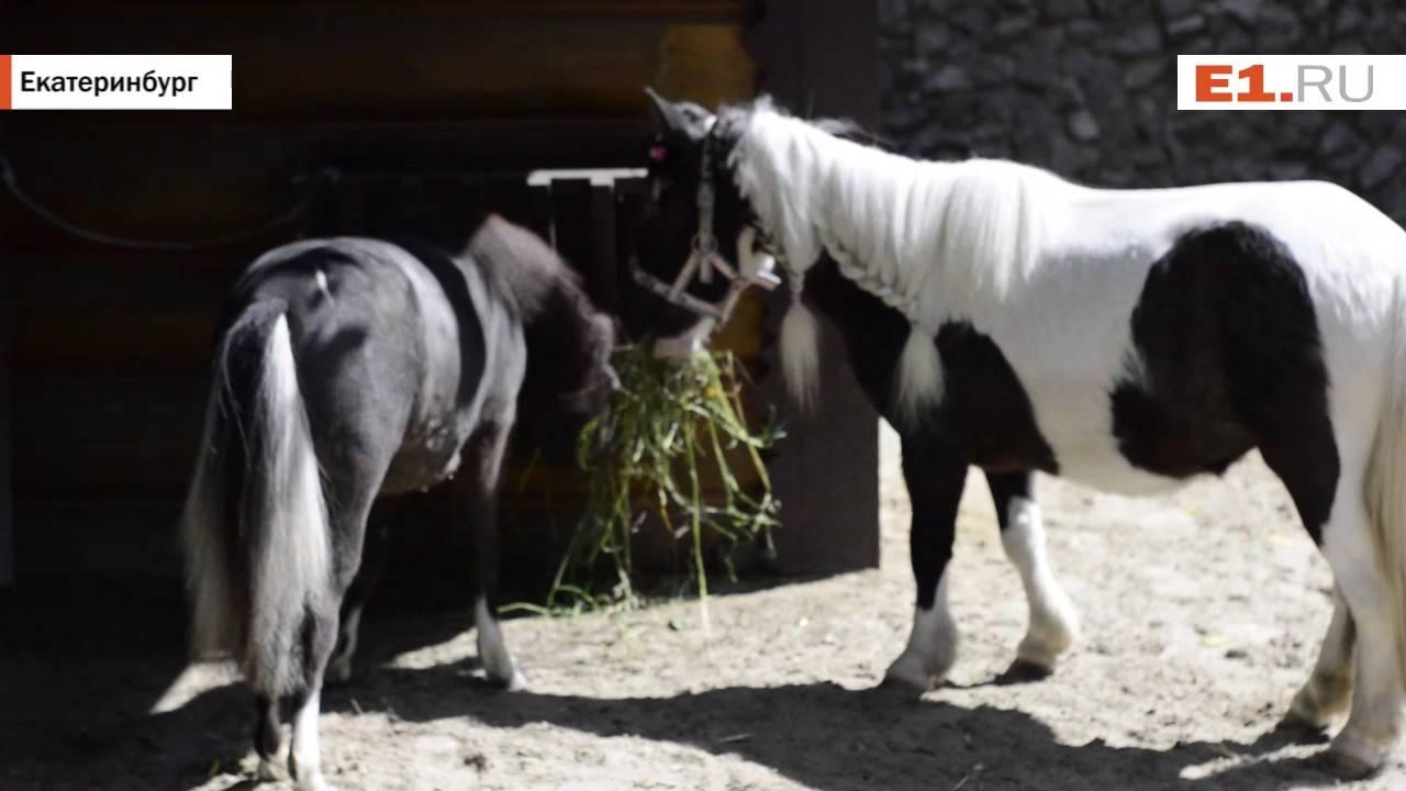 Карликовая лошадь — особенности содержания и ухода