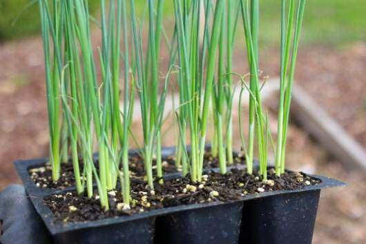 Лук порей в сибири: выращивание и уход, лучшие ранние, средние и поздние сорта, а также когда сеять, как сажать на рассаду?
