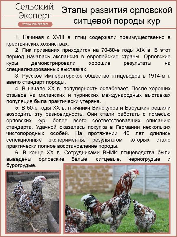 Ливенская ситцевая порода кур – описание, фото, отзывы