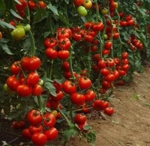 Лучшие сорта томатов для тепличного выращивания в сибири