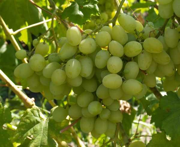 9 лучших сортов винограда без косточек название описание как размножается