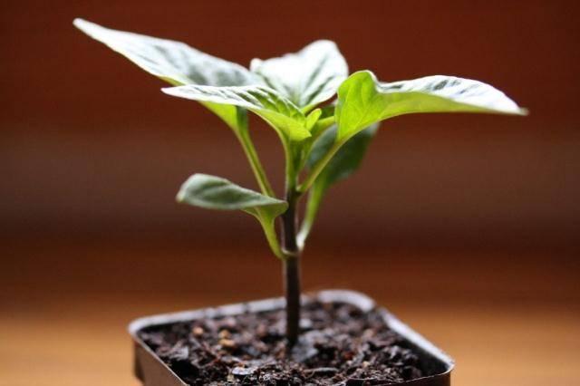 Почему плохо растет или гибнет рассада перца после всходов