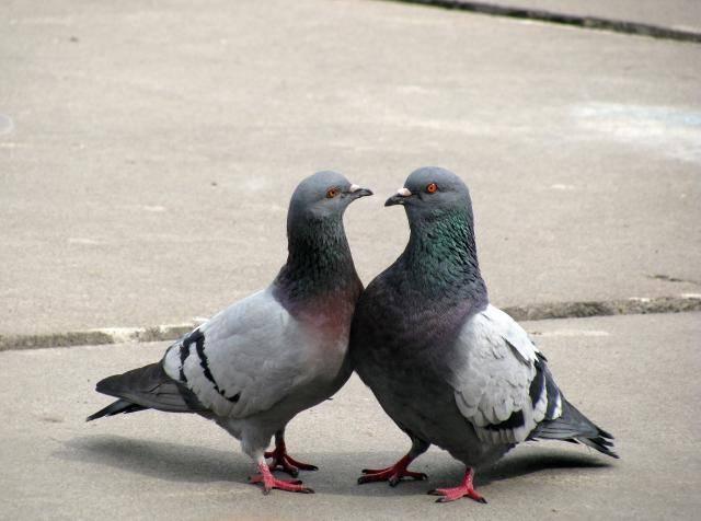 Как отличить голубя от голубки? способы определения пола голубя