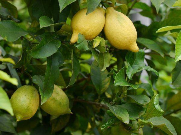 Лимон – уход и выращивание в домашних условиях. посадка и размножение. описание, сорта, фото