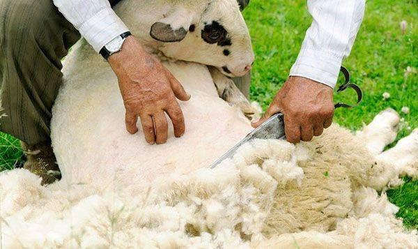 Стрижка овец: как часто стригут баранов? ножи и ножницы для стрижки меха, правила первой стрижки ягненка