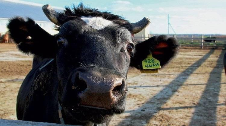 Ярославская (порода коров) — википедия. что такое ярославская (порода коров)