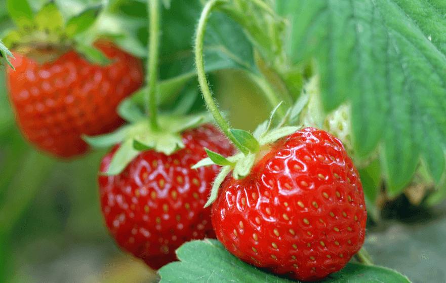 Клубника сорт корона: неприхотливая культура с ранним сроком созревания, но мелкой ягодой