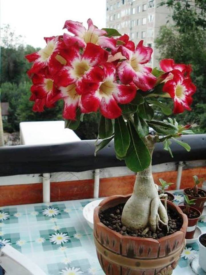 Прекрасный гость из теплых стран – адениум обесум: выращивание растения и правила ухода за ним