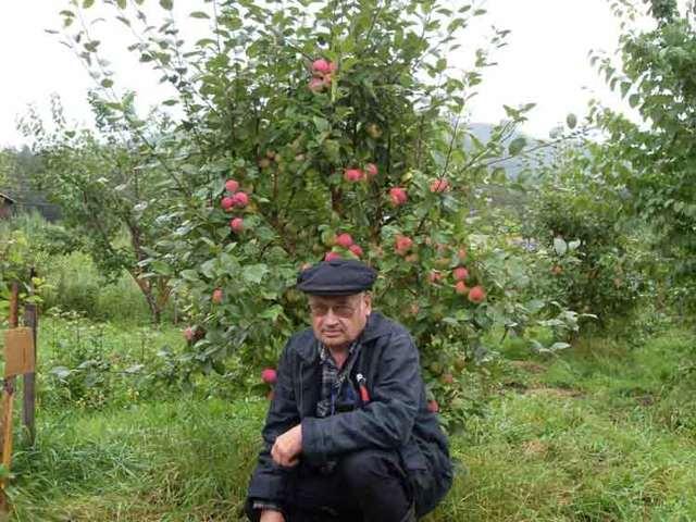 Популярная яблоня мельба: полная характеристика сорта, отзывы