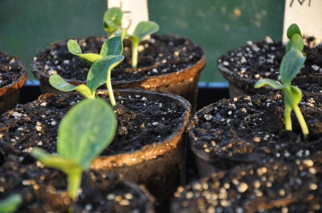 Выращивание рассады тыквы: посадка семян, уход, пикировка