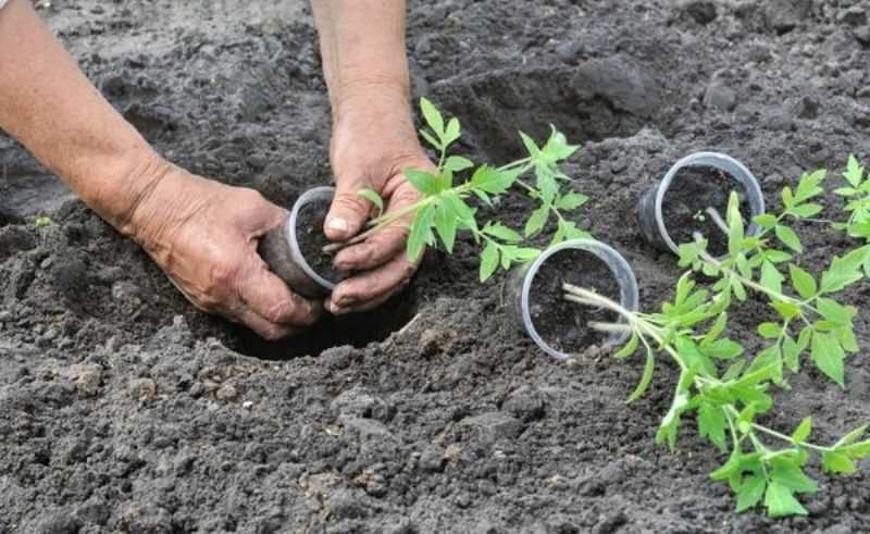 Посадка помидоров в открытый грунт – когда и как высаживать, по лунному календарю в 2021 году, правильно, схема, видео