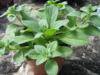 Причины изменения цвета листьев петунии: почему они белеют, светлеют и становятся бледно-зелеными?