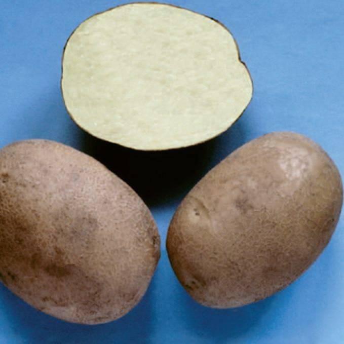 Картофель бриз: описание сорта, выращивание, отзывы