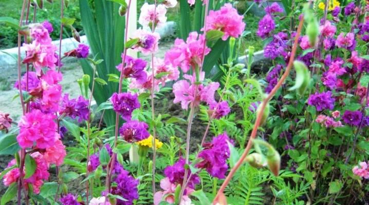 Кларкия: как вырастить красивый цветок из семян