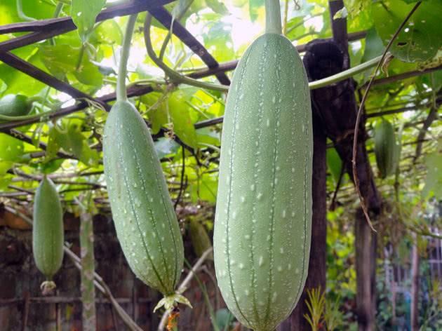 Люффа выращивание из семян в домашних условиях: фото и видео