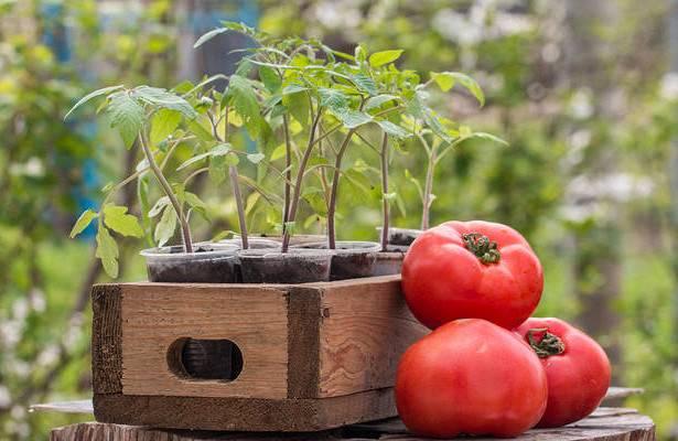 Как правильно сеять помидоры на рассаду в ящик: какие емкости лучше для выращивания томатов с последующей пикировкой, как дома провести процедуру, а также фото русский фермер