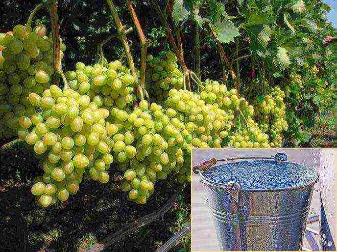 Какова калорийность винограда по сортам: состав, польза и вред для организма, бжу на 100 грамм