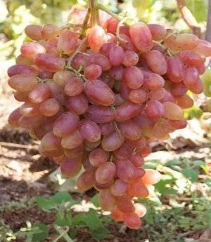 Виноград преображение: описание сорта, фото, особенности посадки и ухода, сроки созревания + регионы для выращивания