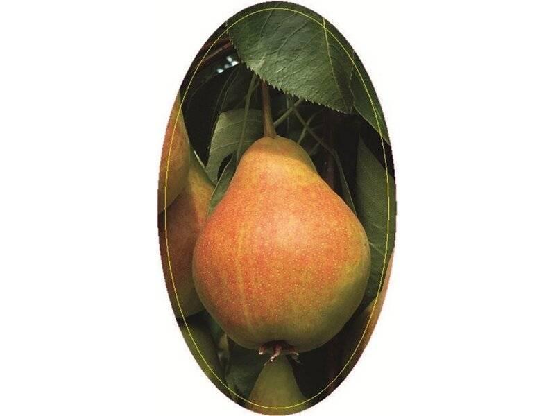 Какие бывают сорта груш? описание и фото сортов груш