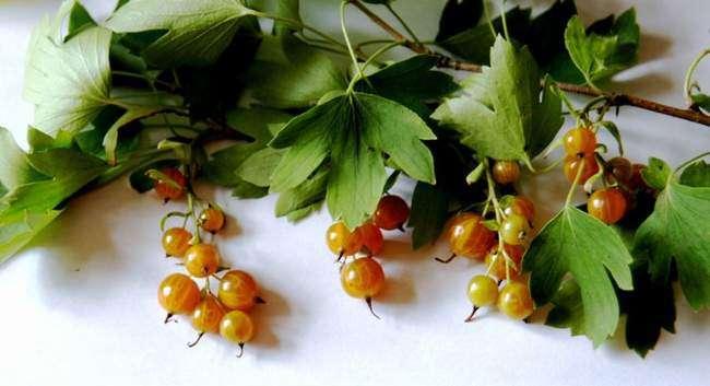 Смородина золотистая: фото и описание сорта, отзывы, урожайность