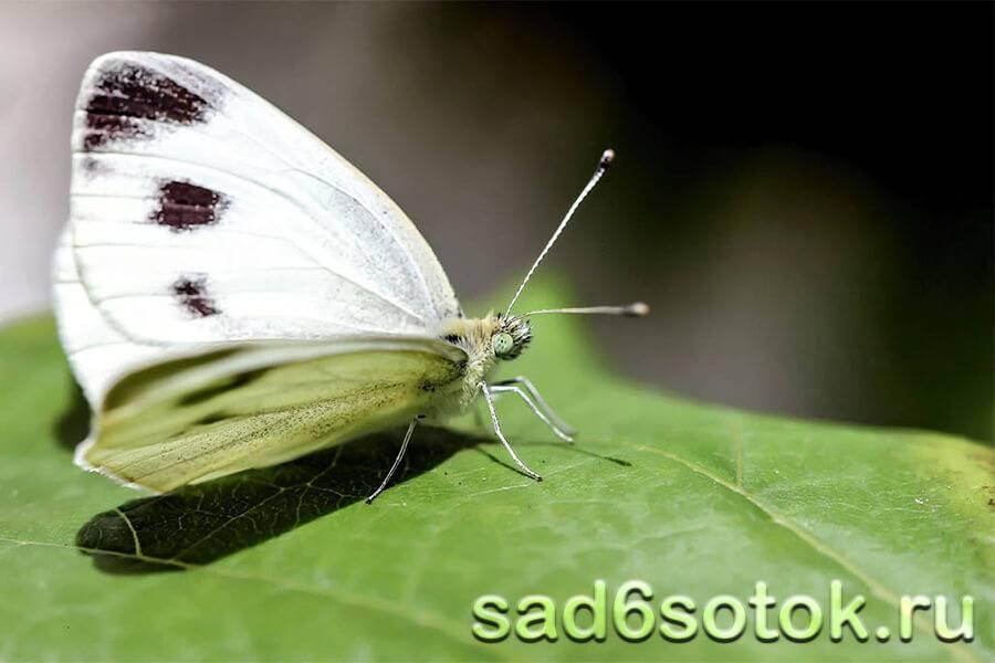 Капустница бабочка насекомое. описание, особенности, виды и фото капустницы   живность.ру
