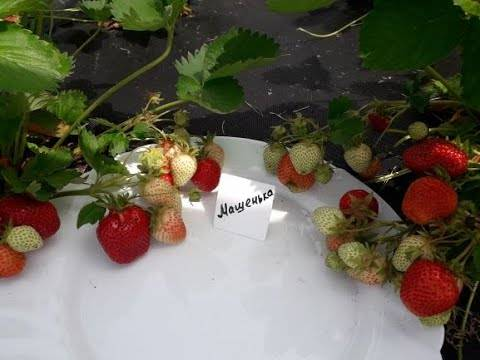 Клубника машенька: описание сорта, отзывы садоводов и фото