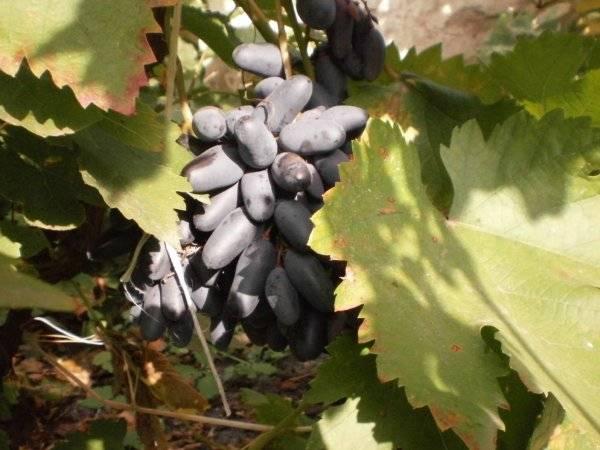Самый изысканный среди кишмишей — виноград сорта блек фингер или чёрный палец
