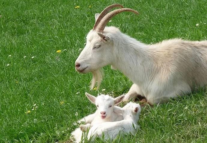 ✅ кличка козы: как можно назвать девочку и мальчика, список лучших имён - tehnoyug.com