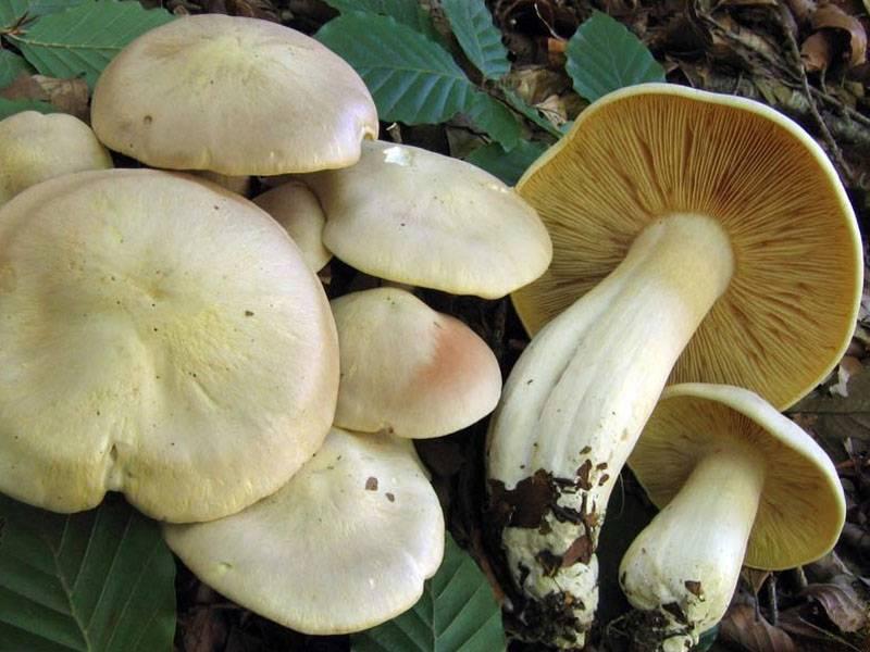 Энтолома садовая –  описание гриба. съедобность.