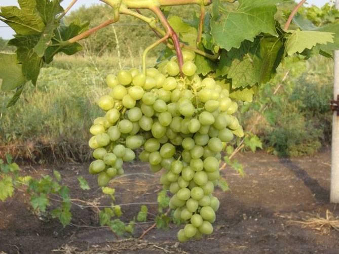 Виноград аркадия: характеристика, описание сорта, уход, урожайность, фото и видео selo.guru — интернет портал о сельском хозяйстве