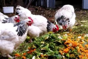 Чем кормить кур несушек, чтобы много и хорошо неслись, как увеличить яйценоскость