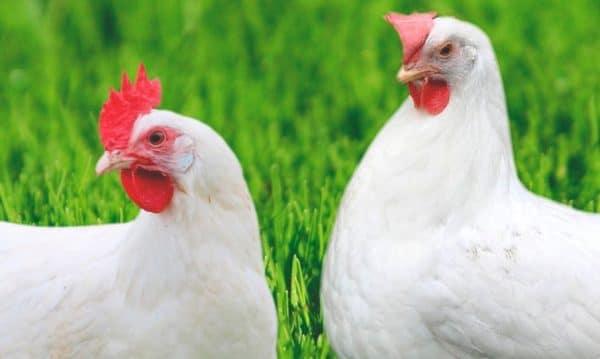 Мясные породы кур: описания 15 лучших для разведения в домашних условиях