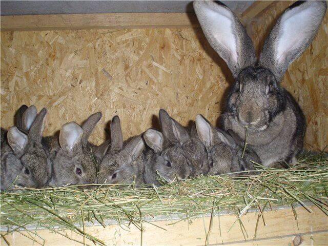 Когда и в каком же возрасте можно отсаживать крольчат от крольчихи