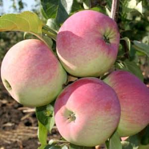 Яблоня аркадик — особенности сорта