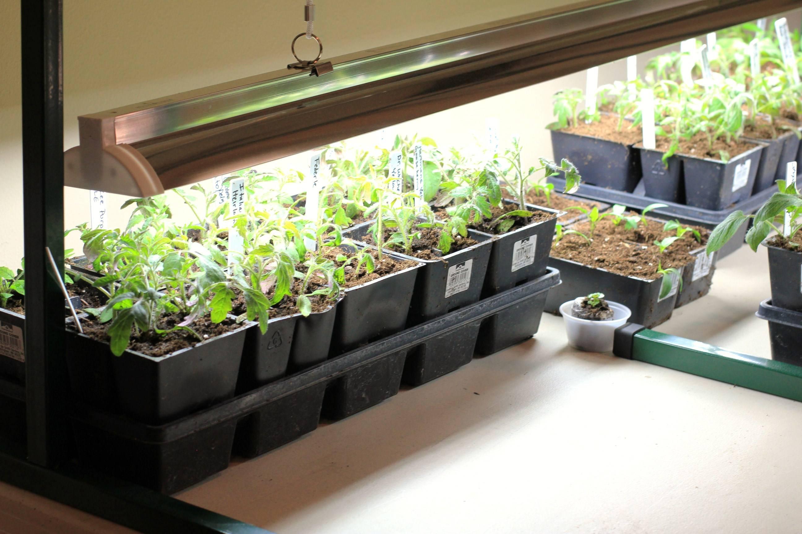 Как вырастить рассаду помидоров в домашних условиях: способы от привычных до экзотических
