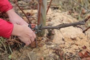 Как укрыть виноград на зиму: сроки, укрывные материалы