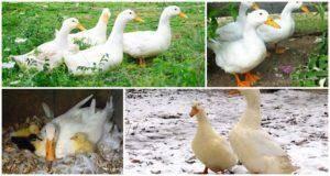 Когда индоутки начинают нести яйца: сколько несут в год
