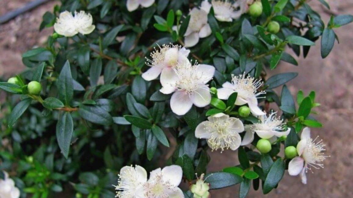 Комнатное растение мирт обыкновенный: фото, описание, условия выращивание и уход в домашних условиях