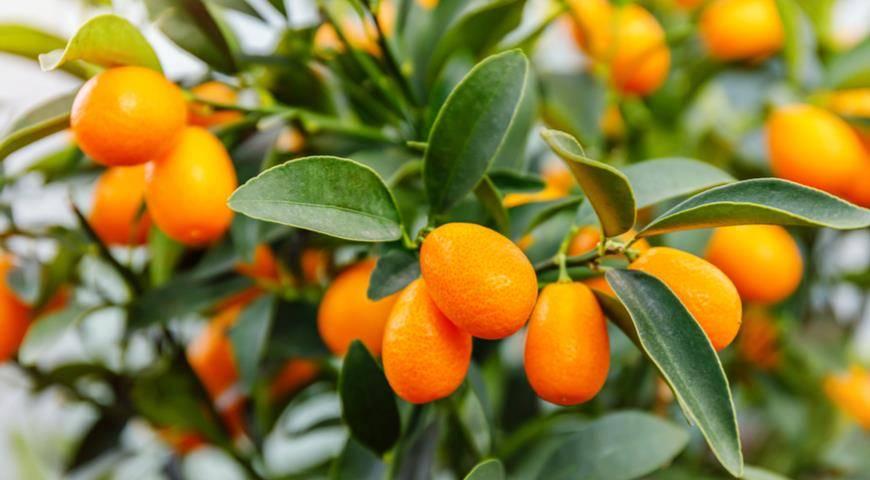 Кумкват: что за фрукт, полезные свойства и применение в кулинарии