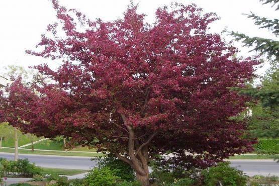 Яблоня недзвецкого: особенности сорта и ухода