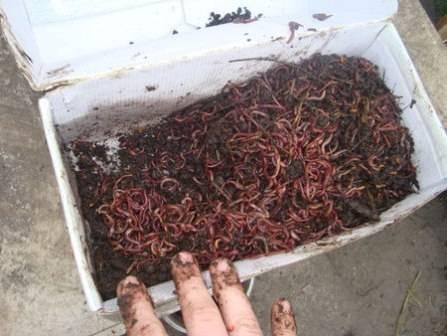 Разведение червей - доходный бизнес в домашних условиях